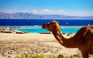 На каком материке обитает верблюд?