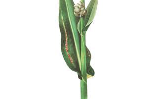 Пузырчатая головня кукурузы меры борьбы