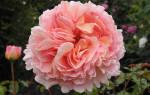 Роза абрахам дерби фото и описание отзывы – rosa abraham darby