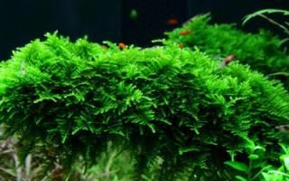 Яванский мох в аквариуме как закрепить