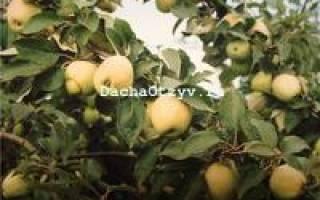 Яблоня рижский голубок описание фото отзывы