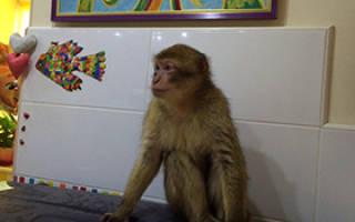 Сколько стоит обезьяна капуцин