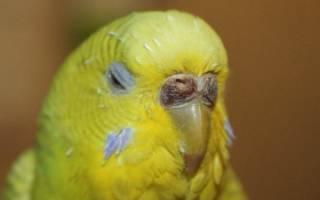 У самца волнистого попугая коричневая восковица