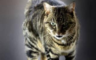 Кот шипит и рычит, почему кошки рычат?
