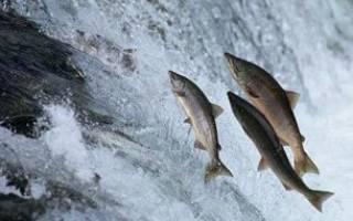 Какая рыба плывет против течения