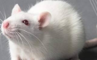 Что едят мыши в домашних условиях: чем кормить мышат