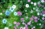 Нигелла дамасская выращивание из семян когда сажать