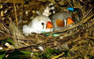 Сколько амадины сидят на яйцах?