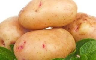 Сорт картофеля аврора фото и описание