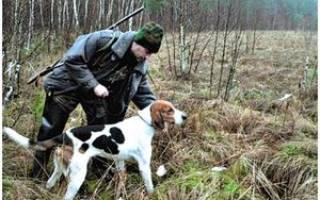 Натаска гончих собак по зайцу