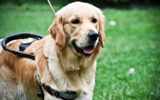 Собаки для слепых людей: пес поводырь
