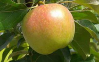 Яблоня витязь описание фото отзывы