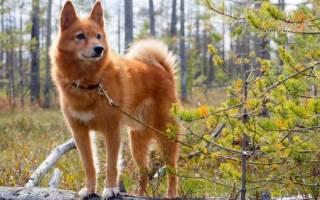 Порода собаки похожая на лису