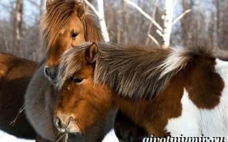 Якутская порода лошадей фото