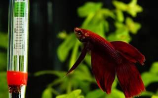 Температура воды в аквариуме для рыбок