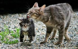 Почему котенок мяукает когда его гладишь, кот издает гортанные звуки