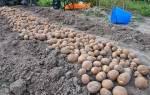 Сорт картошки киви описание сорта