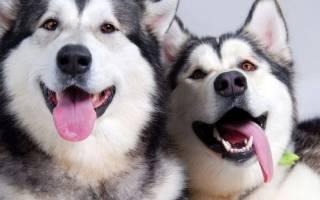Порода собак похожая на хаски только маленькая