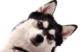 Зачем кастрируют животных, последствия кастрации собак