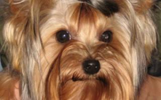 Порода собак йоркширский терьер описание породы: йорк беби фейс фото
