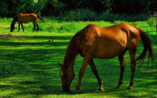Сколько ест лошадь в день?