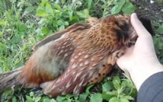 Как поймать фазана в домашних условиях?