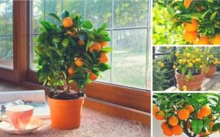 Почему не цветет мандарин в домашних условиях?