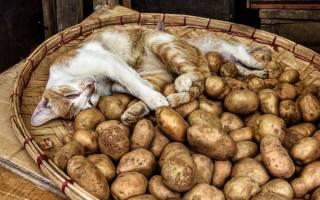 Можно ли котам давать картошку — чего нельзя есть котятам