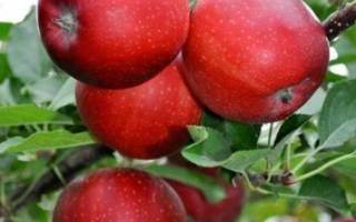 Яблоки гала где растут в России