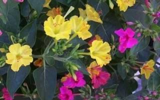 Мирабилис посадка и уход в открытом грунте – мирабелла цветок