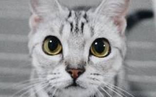 Порода кошек американская гладкошерстная