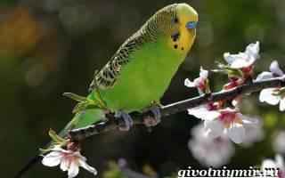 Где живут волнистые попугаи в природе?