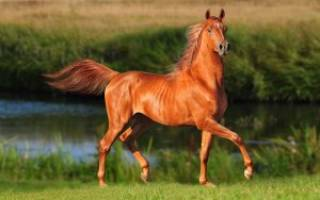 Как называется рыжая лошадь – рыжеватая кобыла