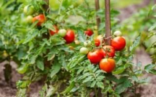 После чего сажать помидоры в открытый грунт?