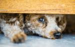 Собака беспокойно себя ведет и часто дышит