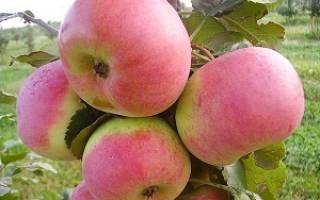 Яблоня ауксис описание фото отзывы