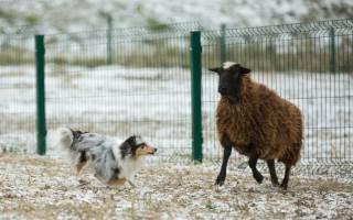 Порода собак похожая на колли: карликовые шелти