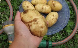 Картофель колетте характеристика сорта отзывы вкусовые качества