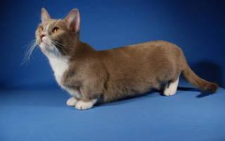 Коротколапые кошки порода манчкин, коротколапый кот