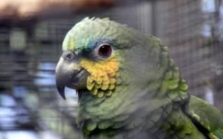 Как выпустить попугая из клетки первый раз?