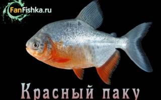 Где водится рыба пиранья, красный паку совместимость
