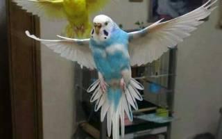 Сколько живут волнистые попугаи в домашних?