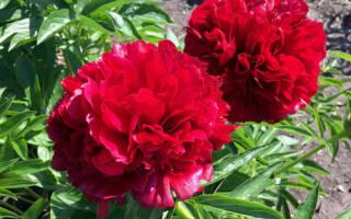 Пион ред грейс фото и описание, red grace