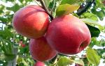 Сорт яблок пепин шафранный фото и описание, пипин шафран