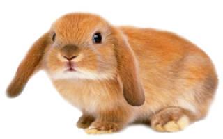 Сколько стоит карликовый кролик в зоомагазине?