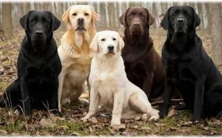 Служебные собаки породы фото и названия – служебная овчарка