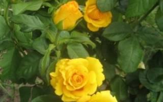 Сорт розы керио фото описание