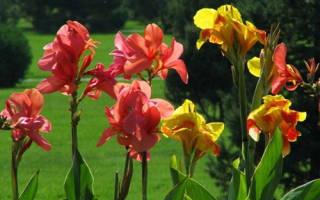 Как ухаживать за каннами в домашних условиях – цветок каан