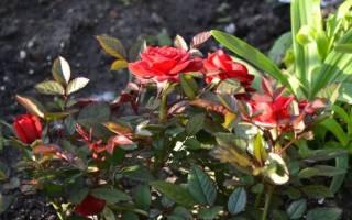 Как обрезать розу кордана на зиму: rosa kordana