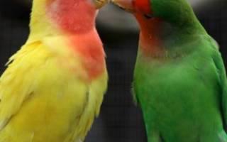 Как различить неразлучников самку и самца?